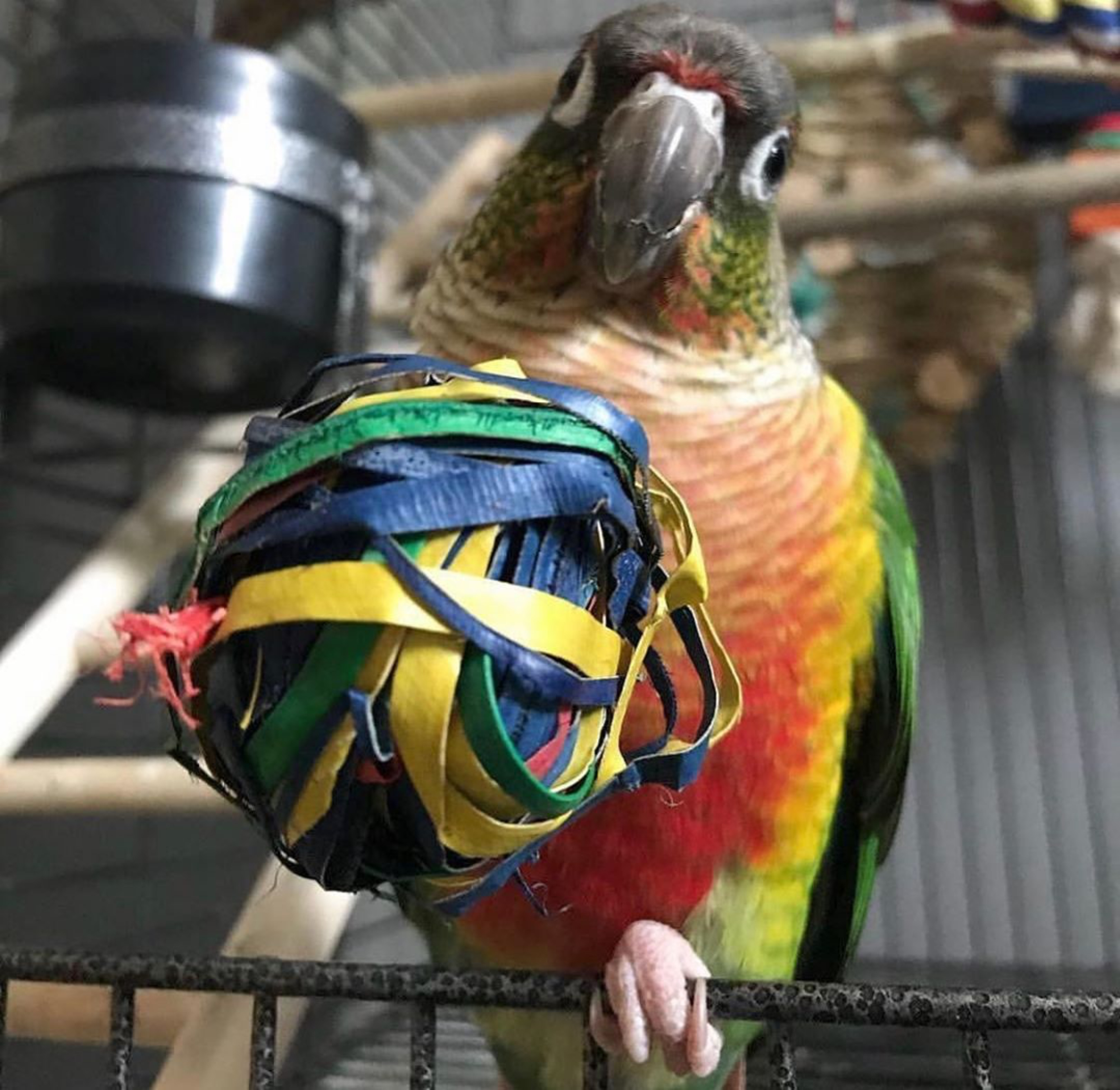 Conure with his Planet Pleasures Foot Toy